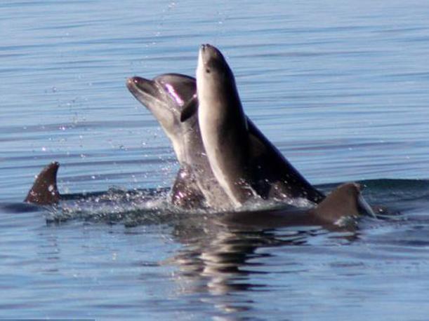 delfin marsopa