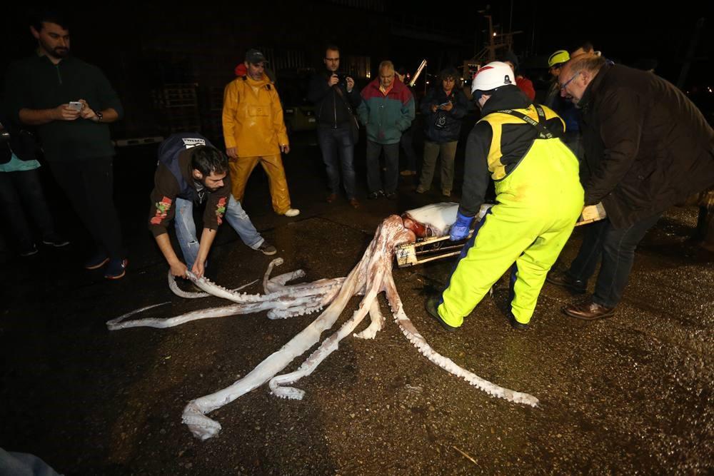 calamar gigante gijon