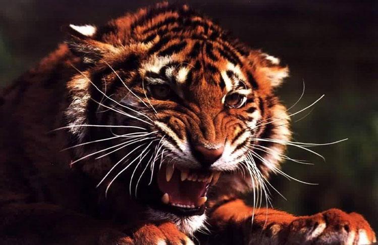 tigre-ataca-a-humano