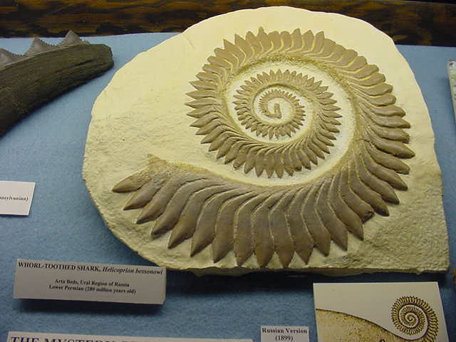 Helicoprion fosil