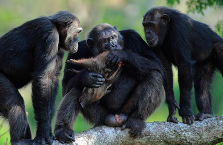 chimpance-carnivoro
