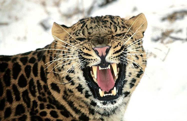 leopardo-asesino