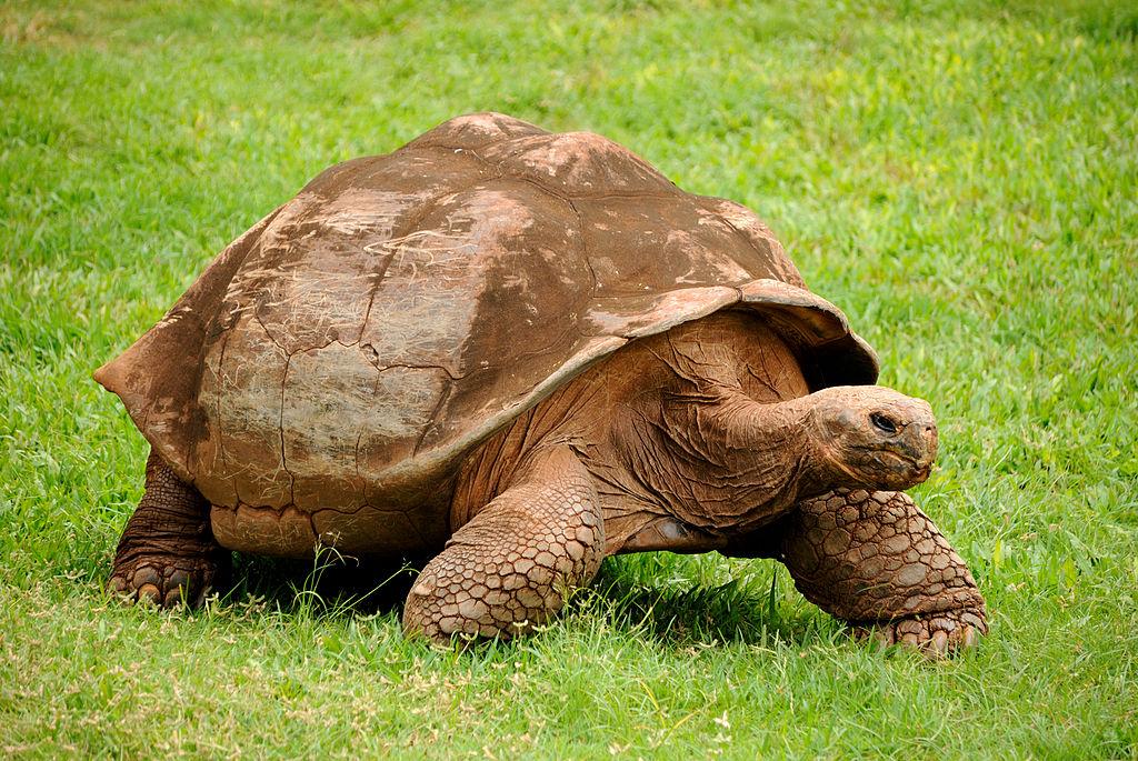 1024px-Galapagos_Tortoise_(5213306875)