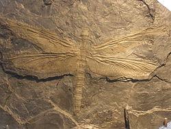 Meganeura-fosil