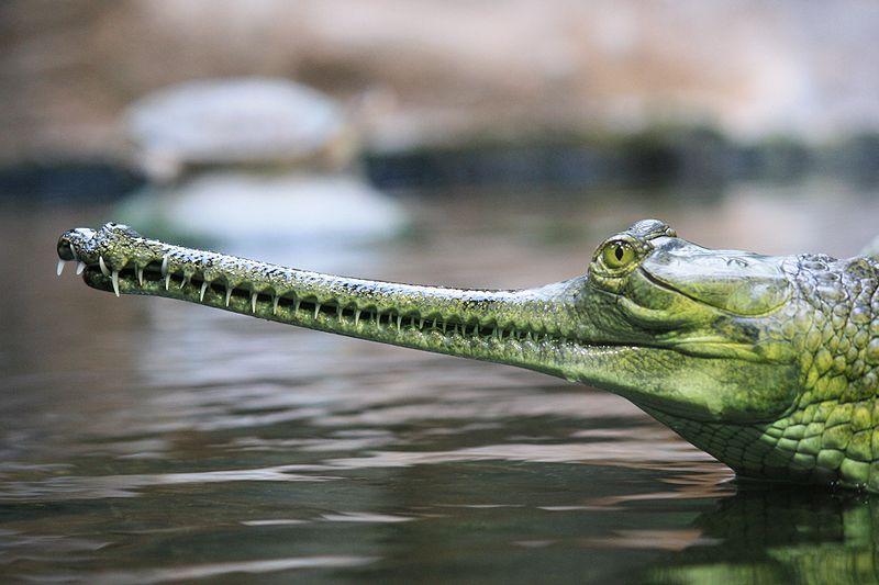 800px-gavialis_gangeticus_zoo_praha_0451