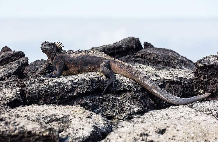 Iguana_marina_galapagos