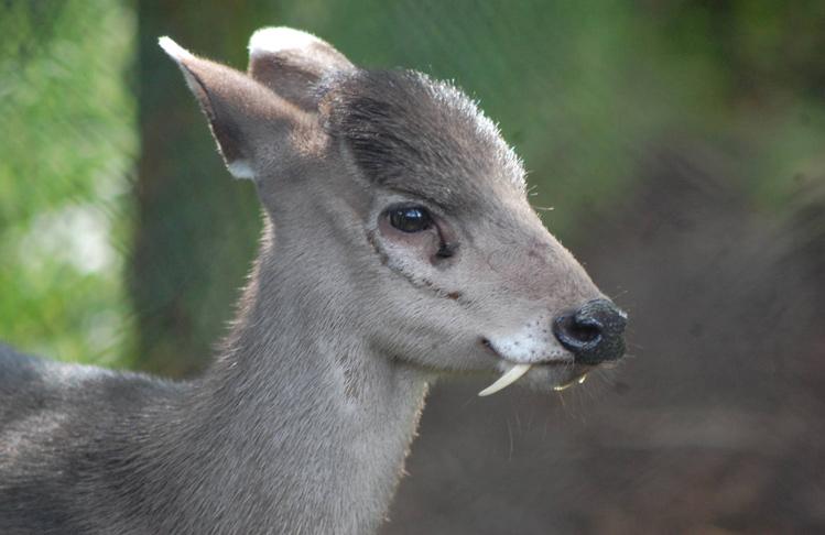 ciervo-dientes-de-sable