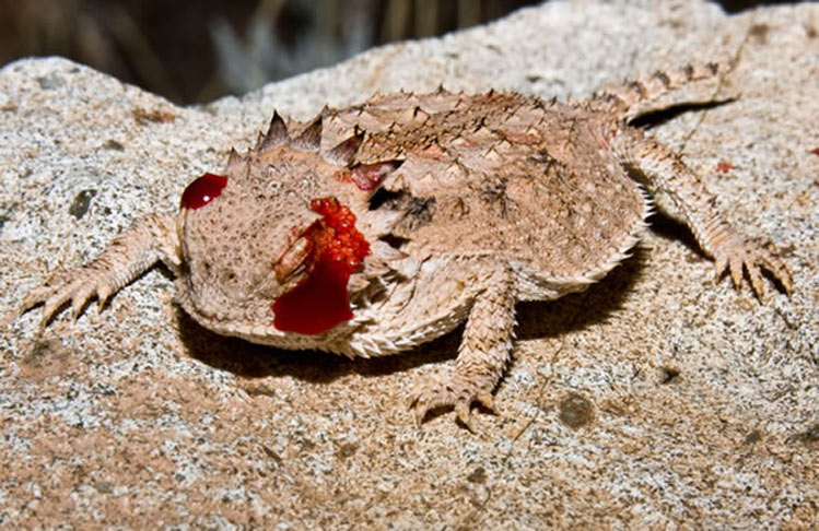 sangre-lagarto-cornudo