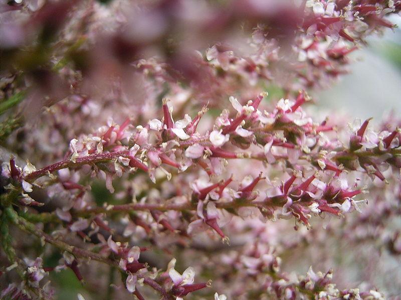 800px-Tamarix_gallica_bloemen