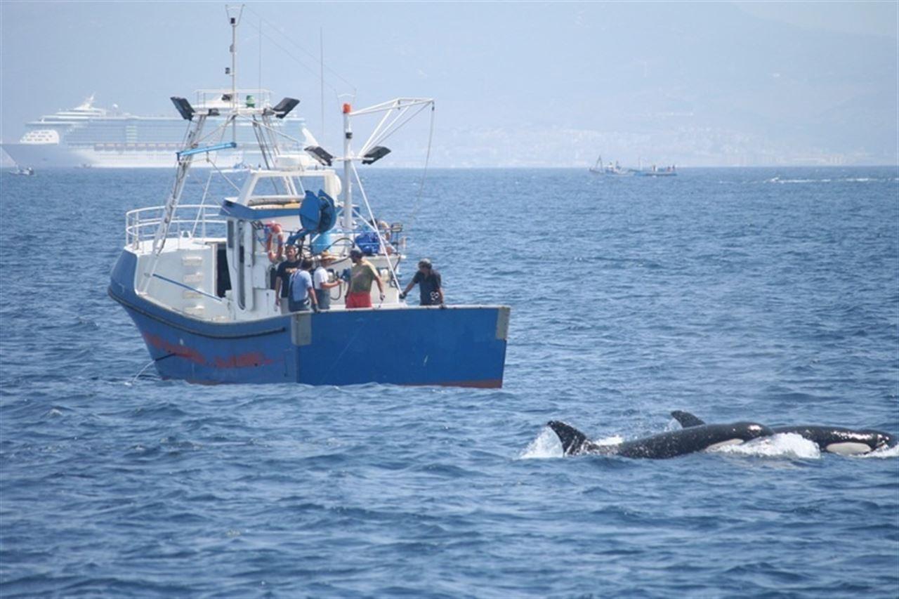 orcas junto a barcos