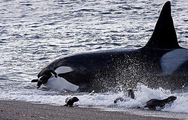 orca-cazando-foca