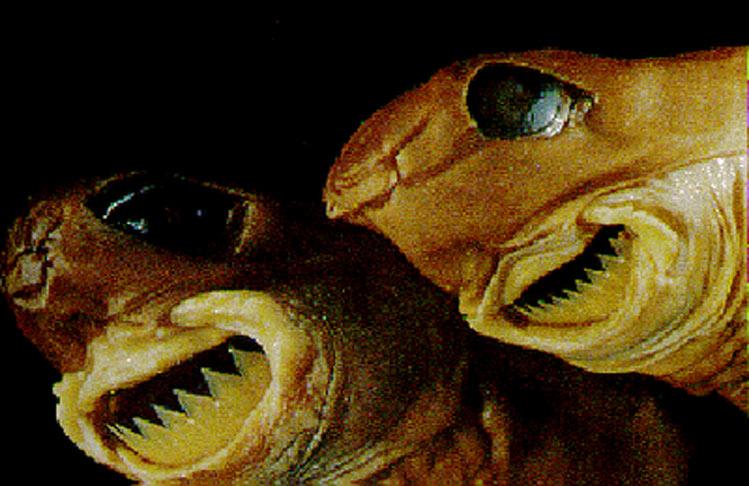 Conozcan al autor de las lesiones; el tiburón cigarro(Isistius brasiliensis),que recibe su nombre por motivos sobradamente justificados.
