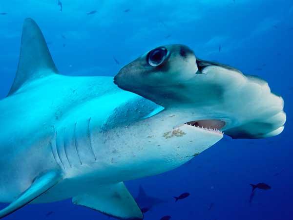 tiburon-martillo-plano-vision
