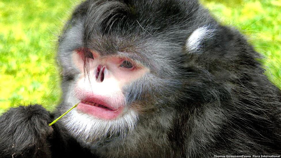 Mono sin nariz reconstrucción