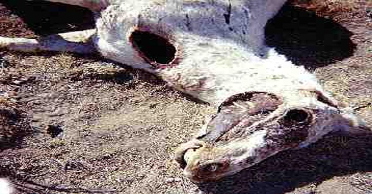 Animal mutilado sin ojos y con la lengua extirpada.