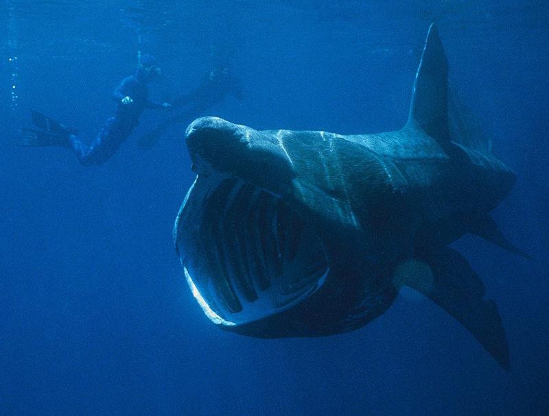 800px-basking_shark