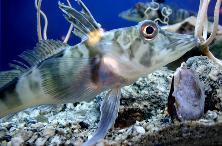 icefish_chionodraco_hamatus